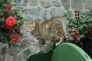 Ciprusi macska