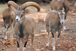 Ciprusi muflon