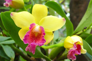 Ciprusi orchidea
