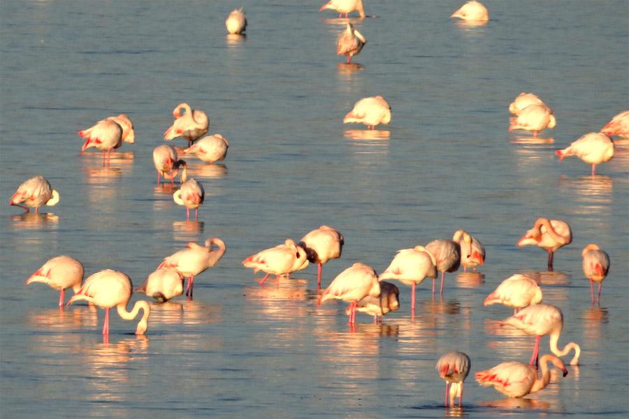 Flamingók a larnakai sós tóban, Cipruson